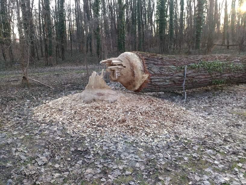 strom pokaceny bobrem