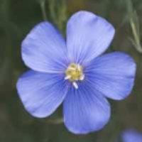 len-sety-kvet.jpg