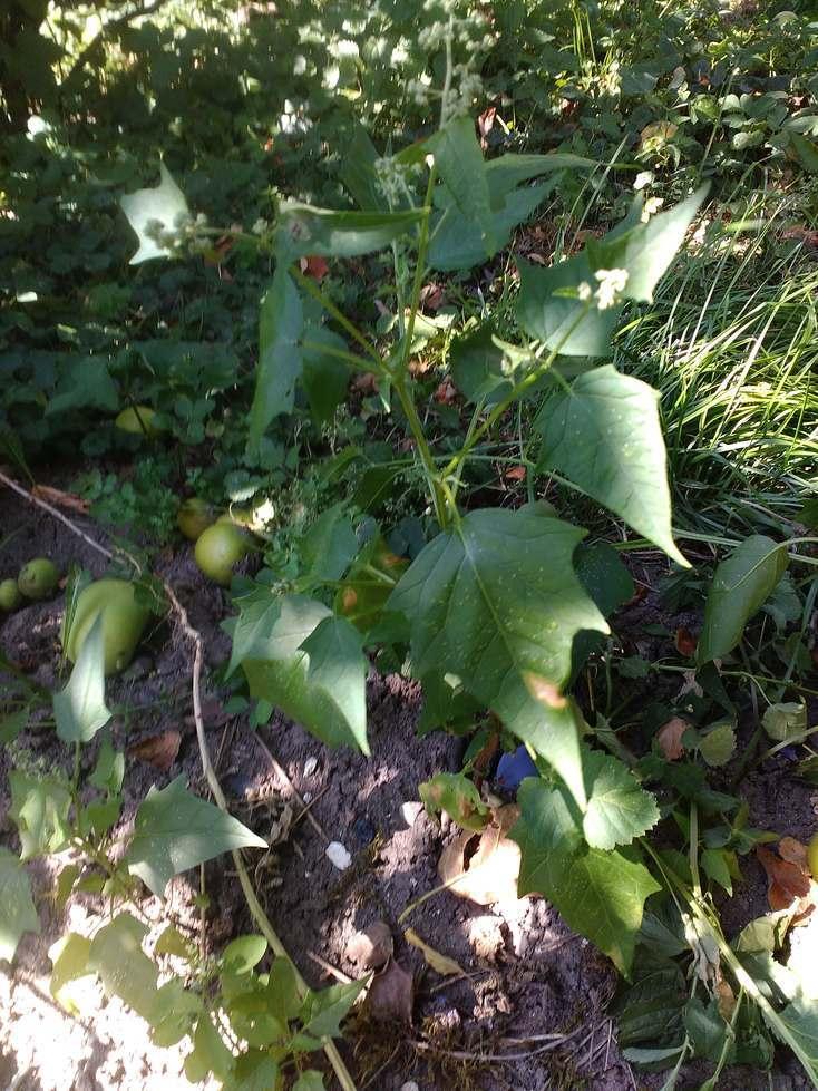 merlik-lebeda-plevel.jpg